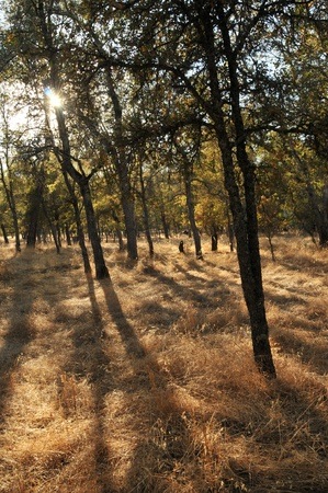 Trees on dry yellow grass on a hot summer California day. Stock Photo