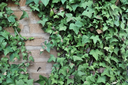 ivy wall: Green English Ivy leafs growing all over an adobe brick wall. Stock Photo