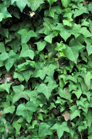 Green English Ivy leafs growing all over a brick wall. photo