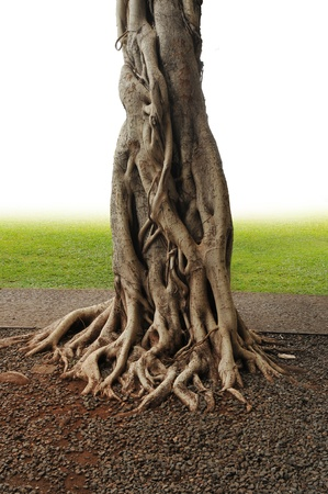 반얀 트리 트렁크 뿌리와 조각의 근접 촬영입니다. 스톡 콘텐츠