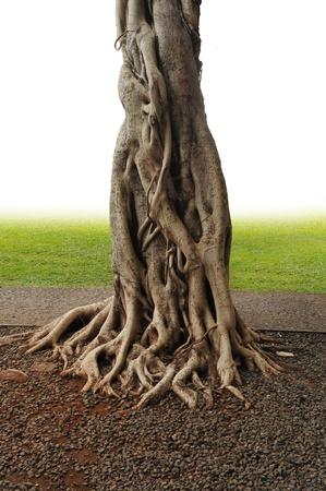 Nahaufnahme der Banyan Tree Trunk Wurzeln mit Schnitzereien. Standard-Bild