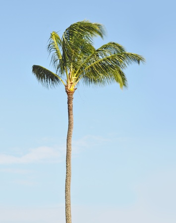 One single tropical palm tree against a blue sky with background copyspace. photo