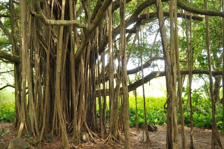 Closeup of a beautiful banyan tree with roots going into the ground.