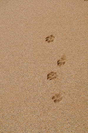shoe print: Four isolated dog paw footprints in the sand on a beach