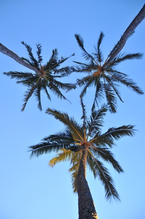 Three tropical palm trees against the background of a blue sky taken from below photo