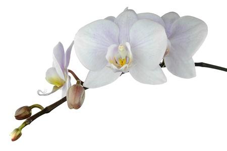 난초 꽃은 흰색 배경에 고립