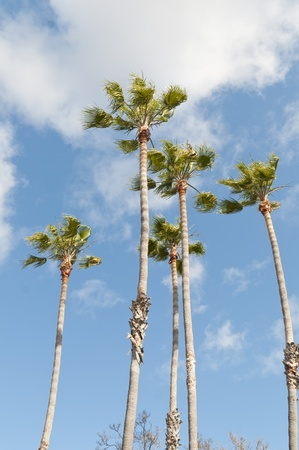 A group of five palm trees against a blue sky with white clouds photo