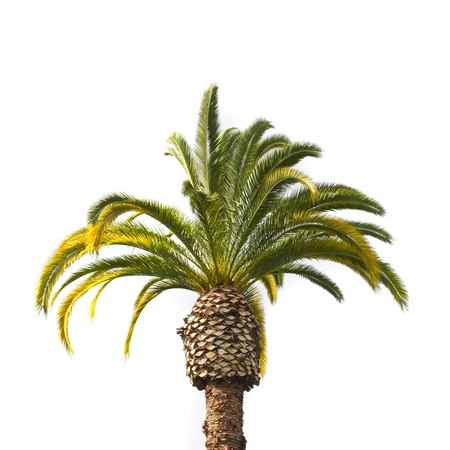 Palm tree isolated on white background Stock Photo - 9749350