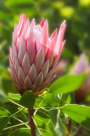 beautiful pink tropical protea flower with a green background photo