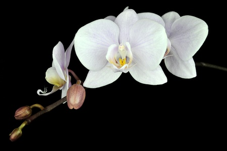 Orchid flower isolated on black background Stock Photo - 9749624