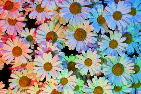 closeup of pink daisy with: White daisies with multiple colored lights shining on the surface of the patch flowers