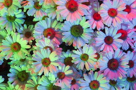 White daisies with multiple colored lights shining on the surface of the patch flowers