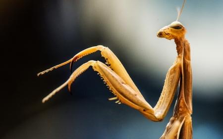 langosta: Macro foto de una mantis religiosa con las patas delanteras y la cabeza