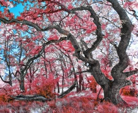 Beautiful infrared photograph of a Royal Poinciana tree photo