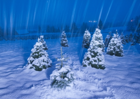 Pine trees in snowcovered meadow at night, while snowing. Long exposure