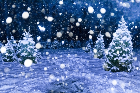 Evening snowscape with snow covered pine trees, while snowing. Stock Photo