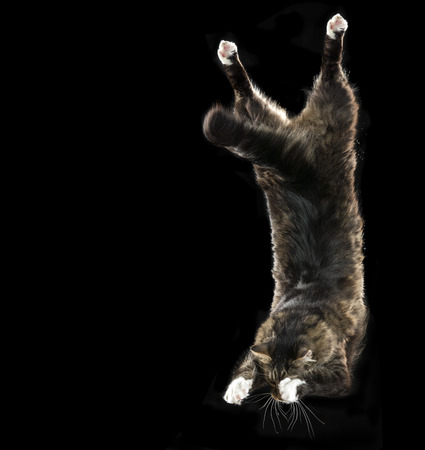 animal behavior: Maine Coon cat jumping isolated on a black background