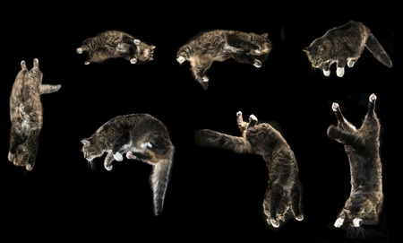 Maine Coon cat jumping isolated on a black background