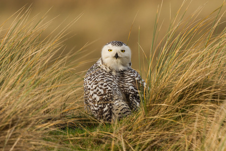 Snowy owl watching photo