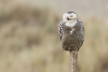 Snowy owl on a pole  photo