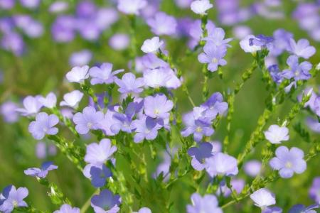 usitatissimum: Flax (Linum usitatissimum) blooming on a sunny meadow