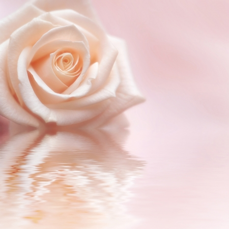 Tender rose on rosy background