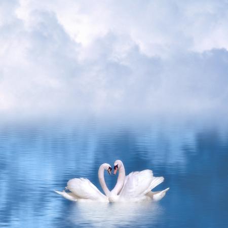 Graceful swans in love