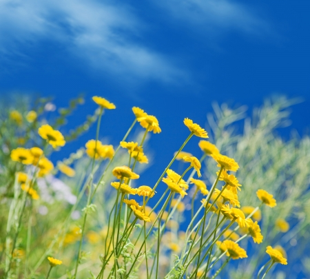 Yellow daisies against blue sky photo