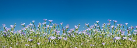 linum: Flax (Linum Usitatissimum) blossoming against the background of clear blue sky, panoramic view