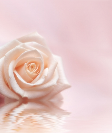 Gentle rose on a light pink background