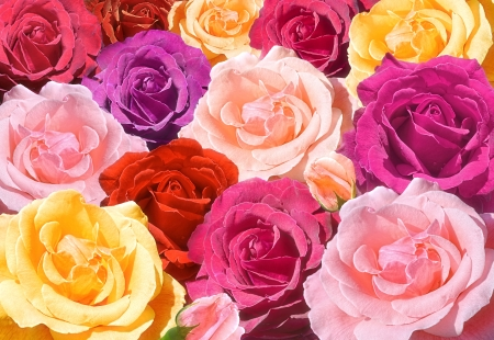 red pink: Red, pink, purple, yellow roses closeup