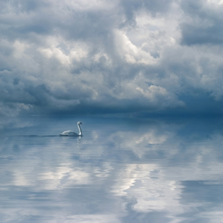 cloudy sky: Graceful swan against dramatic cloudy sky background