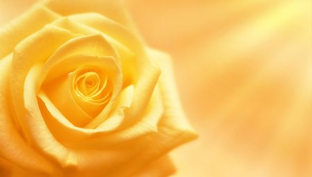 Yellow rose illuminated by sun rays on yellow background