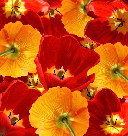 poppy: tulipanes rojos y naranjas de amapolas fondo decorativo