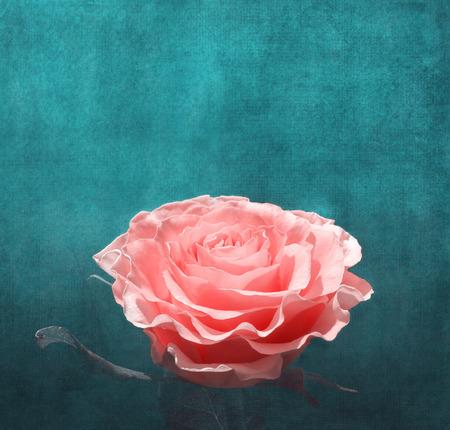 blue petals: Pink rose on dark turquoise background, vintage composition.Pink rose illuminated by sunlight on turquoise background. Stock Photo