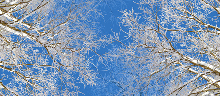 Winter trees covered by snow and hoarfrost on bright blue sky background. Branches of trees covered with snow and hoarfrost decorative panoramic view Stock Photo