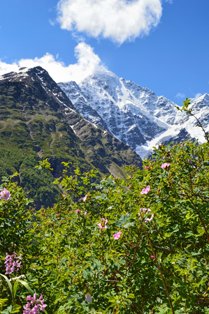 Close-up view of flowering alpine bushes, mountains covered with snow at the background. Blossoming plants at Caucasus mountains.