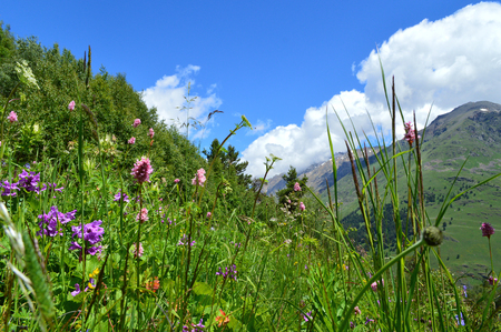 Close-up view of flowering alpine meadows, mountain valley at the background. Blossoming flowers and plants at Caucasus mountains.