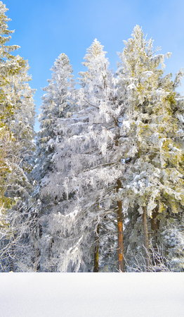 Fir trees covered by snow and hoarfrost on foggy blue sky background. Winter trees covered by snow and hoarfrost under the sunlight Stock Photo