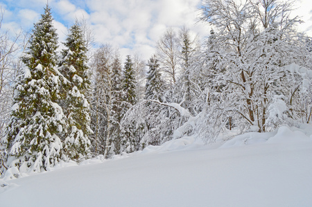 Trees covered by snow, cloudy blue sky in background. Winter forest with snowfield at foreground