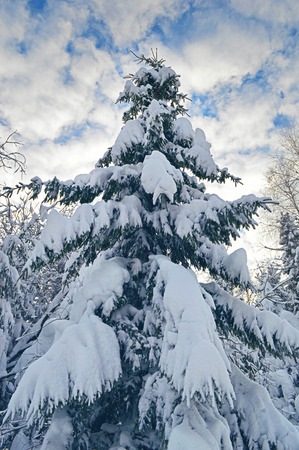 Fir tree covered by heavy snow on winter afternoon. Winter tree covered by snow. Stock Photo