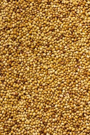 coriander seeds: Spice background  Coriander seeds