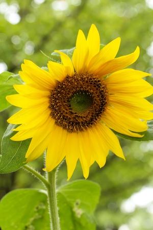 Single Sun flower in a home garden, selective focus 版權商用圖片