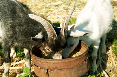 Two little goats eat grain in the summer photo