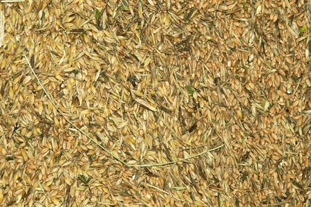 The texture of the yellow grain crop Stock Photo - 7701302