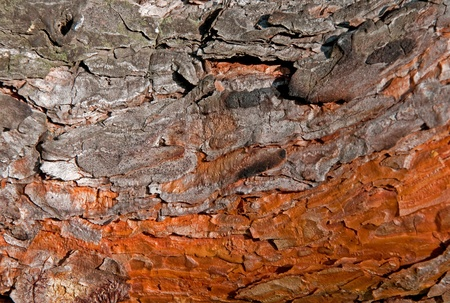 Beautiful bright colored pine bark (abstract texture) photo