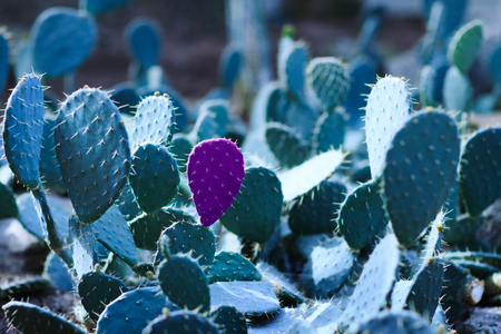 Cactus with a petal isolated in violet color on the background of other green petals. Cactus with green petals and a single purple colored petal. Green cactus petal isolated in violet color. Cactus petal separated from other petals.