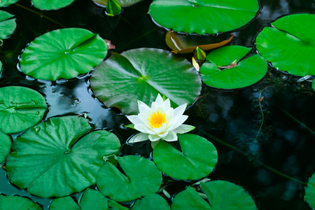 White water lily blooms in a pond. White lotus which has yellow pollen in winter. Flower of a single white water lily on the water surface of a pond. Nymphaea alba, water rose or white nenuphar.
