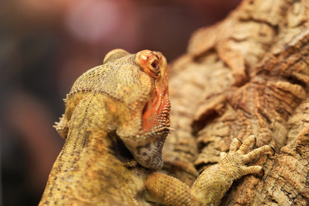 Cute bearded dragon sitting on a wooden branch and looking in the camera with vigilance. Great portrait of Bearded Dragon or Pogona reptile resting, posing on a wooden trunk.