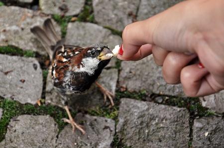 tame: Tame sparrow Stock Photo